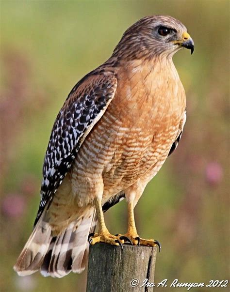 25 best ideas about hawks on pinterest raptors falcons