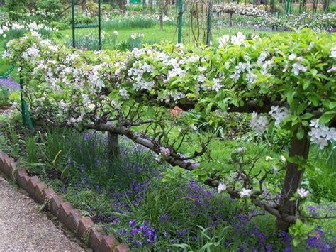 espalier apple trees edible fence garden closely clipped topiar