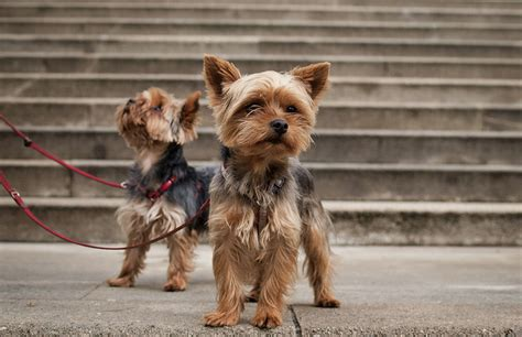 small yorkie 5 tiny breeds that stay small petful