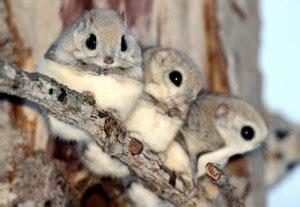 scoiattoli volanti giapponesi il mistero degli scoiattoli volanti l orologiaio miope