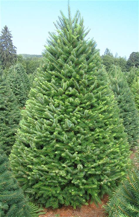 what type of christmas tree lasts the longest douglas fir olympic trees
