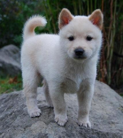 jindo puppies breed korean jindo breeds picture