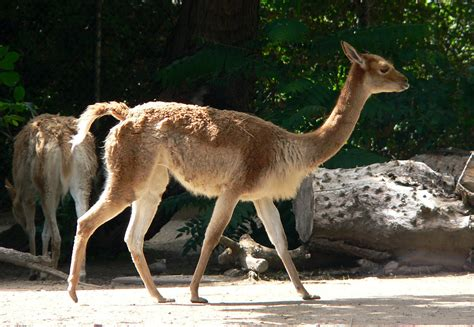 vicuna wiktionary