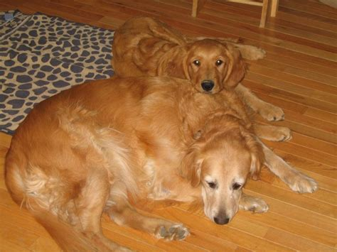 golden retriever rescue nj golden retriever rescue inc nj newsletter 2007letters to breeds picture