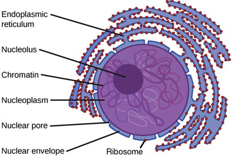 nucleus  ribosomes prokaryotic  eukaryotic cells