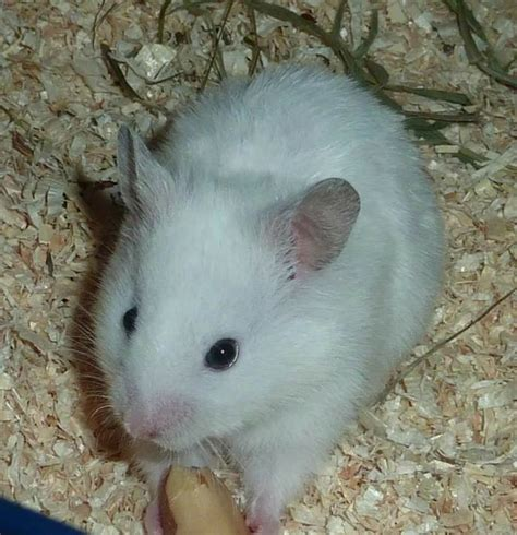 hamster colors 91 best images about syrian hamster colours on