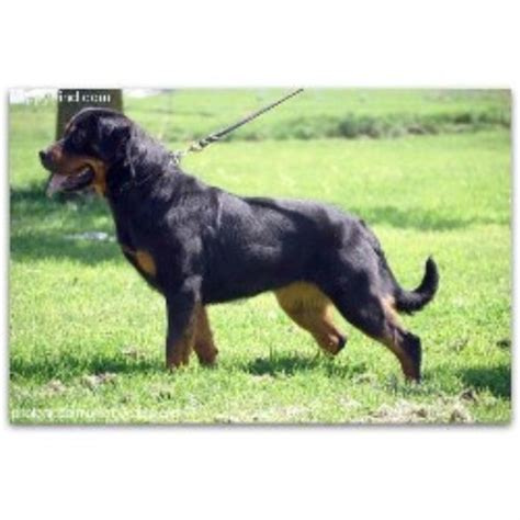 rottweiler puppies arkansas blue line rottweilers rottweiler breeder in benton arkansas listing id 20354