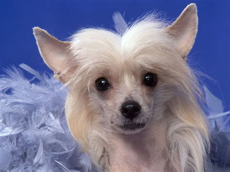 smallest puppy crested all small dogs wallpaper 14883889 fanpop