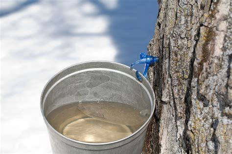 Water Sap how do you tap a maple tree wonderopolis