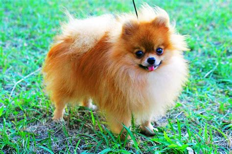 pomeranian personality temperament pomeranian breeds picture