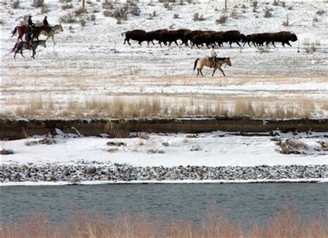 boating accident yellowstone river bid to expand yellowstone park bison habitat collapses
