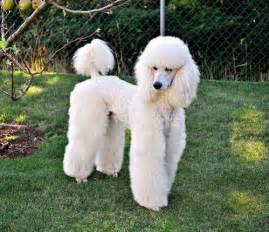 standard poodle hair styles best 25 poodle cuts ideas on pinterest poodles