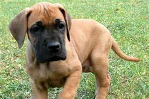 Great dane puppies for sale dog bazar