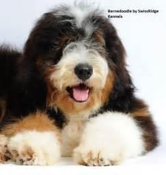44 best images about bernedoodle on poodles
