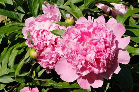 17 best ideas about peony care on pinterest peony plant