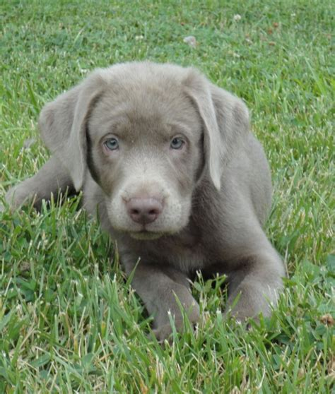 silver lab puppies for sale in akc silver lab puppies due april for sale in roseburg oregon myideasbedroom