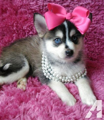 siberian husky puppies for sale in md siberian husky puppies for sale in baltimore maryland classified
