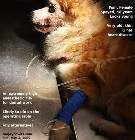 pomeranian bad teeth 20100619dental scaling health care problems in singapore dogs fistula oronasal dog