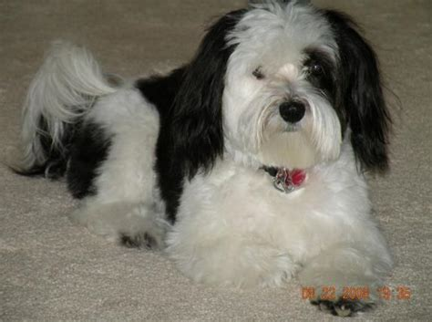 havanese rescue illinois adopt a cat or a at savearescue