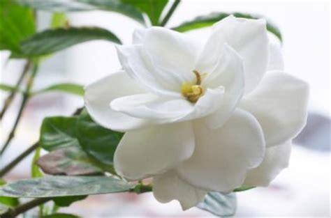 gardenia indoor care lovetoknow