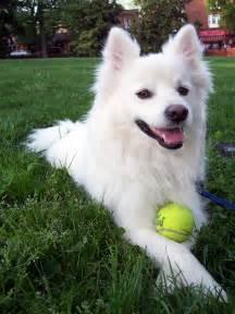 File:American-Eskimo-dog.jpg