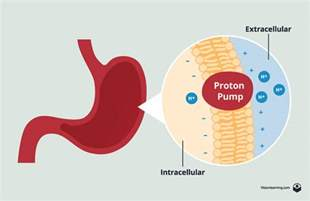 Stomach Proton Membranes Ii Biology Visionlearning