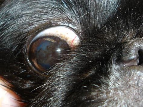 shih tzu brown eye discharge akorn common eye diseases
