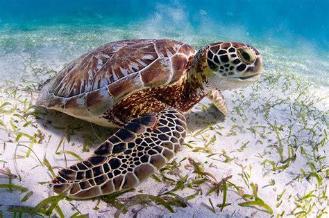 imagenes de libres y tortugas tortugas marinas wwf