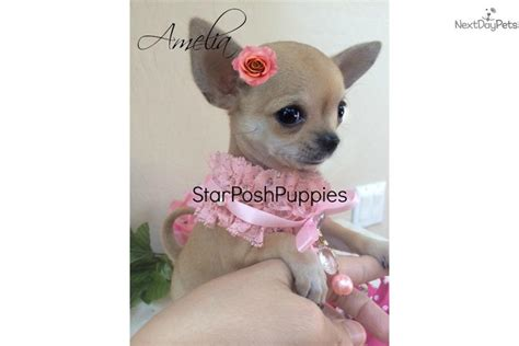 Teacup Applehead Chihuahua Puppies For Sale Breeds Picture