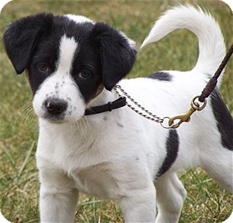 border collie beagle mix puppies beagle mix breeds picture