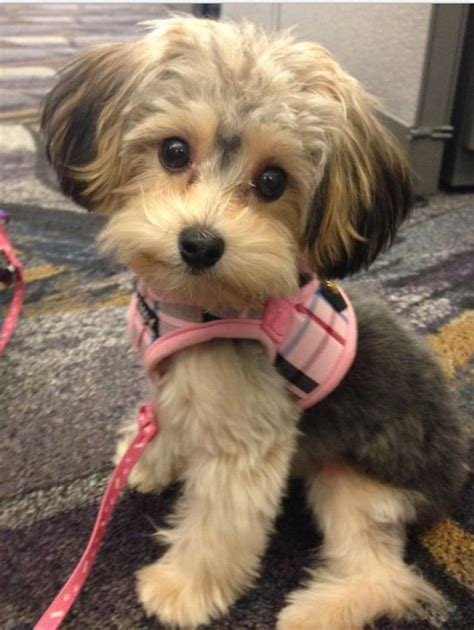 yorkie poi hair ut cutest little yorkie poo ever cute animals pinterest
