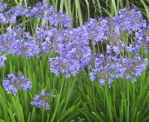 agapanthus peter pan common name dwarf blue agapanthus 125mm pot dawsons garden world