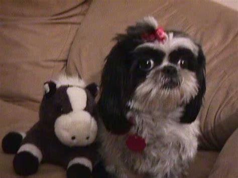 singing shih tzu stupid shih tzu