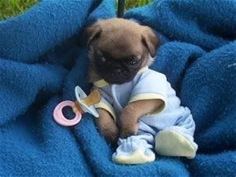 pictures of pugs dressed up best 25 baby pugs ideas on