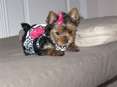 teacup yorkie rescue nc adorable teacup yorkie puppies for adoption contact via g johson yahoo