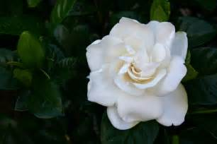 Gardenia Upkeep How To Care For Outdoor Gardenias