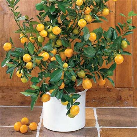 cost of fruit trees buy trees and shrubs for less