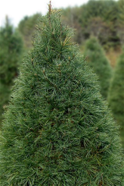 eastern white pine for christmas trees and landscaping