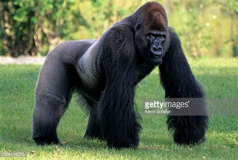 Silverback Gorilla Stock Photos and Pictures | Getty Images