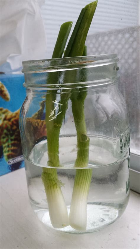 how to grow green onions from scraps in water