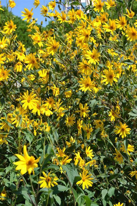 fiore topinambur jerusalem artichoke rhizome topinambour helianthus