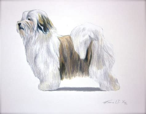 havanese breed standard 17 best images about havanese on bar search and abyssinian cat