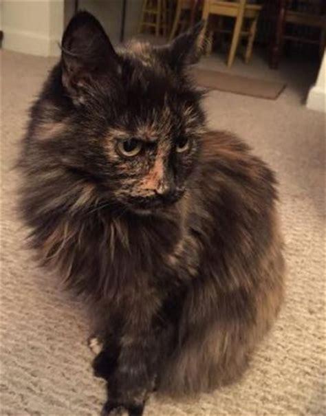 adoption pittsburgh hair tortoiseshell cat for adoption in pittsburgh adopt today