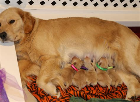 golden retriever breeders san antonio puppies golden retreiver breeder pug breeder lazy paws kennels