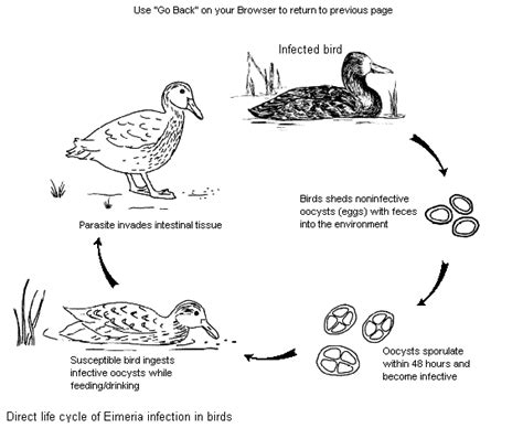 life cycle of bird colouring pages