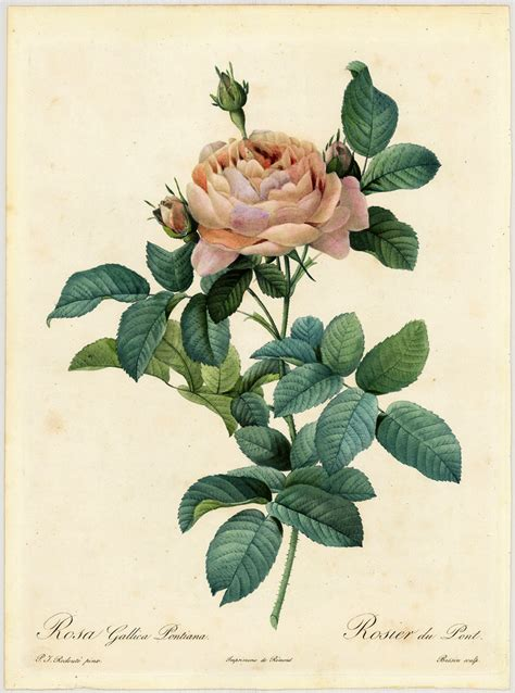 rosa gallica pontiana by p j redout 233 1824 from our