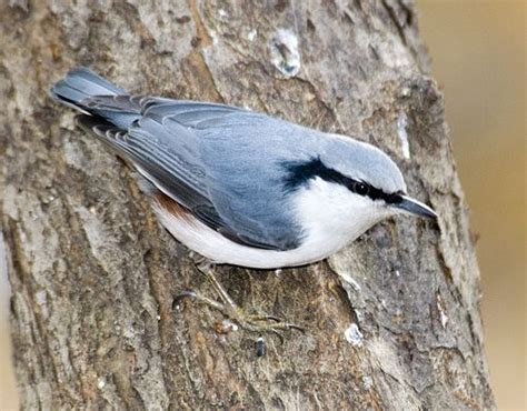 how to attract nuthatches to your garden