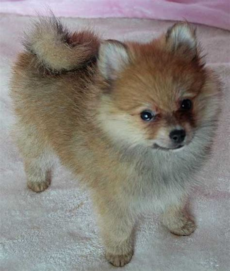 pomeranian for sale florida pomeranian puppy for sale in boca raton south florida