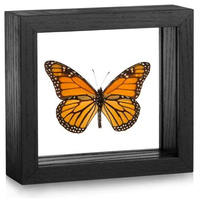 framed monarch     usa perfect