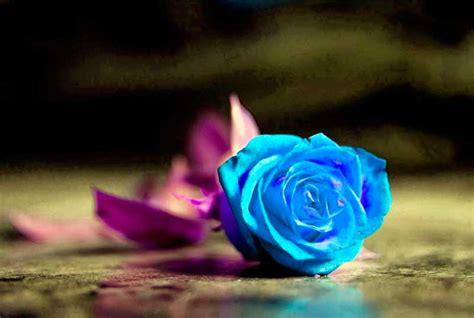 imágenes muy bonitas y brillantes hermosas rosas color azul imagenes de rosas